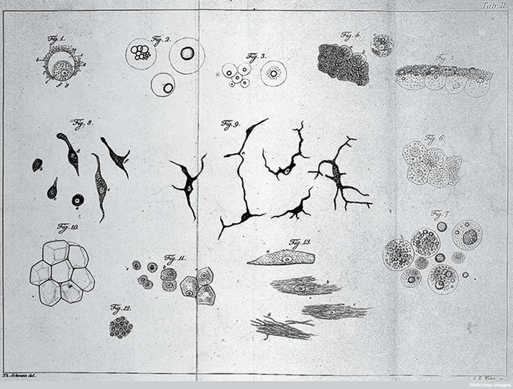Plant cells (J. M. Schleiden, 1838).