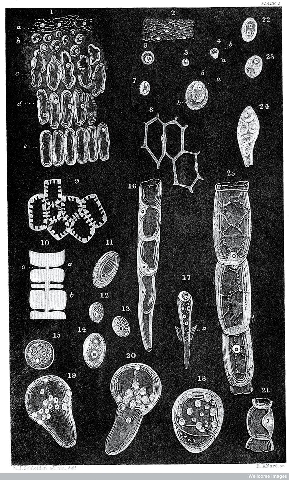 Sketches of animal cells (Theodor Schwann, 1839).