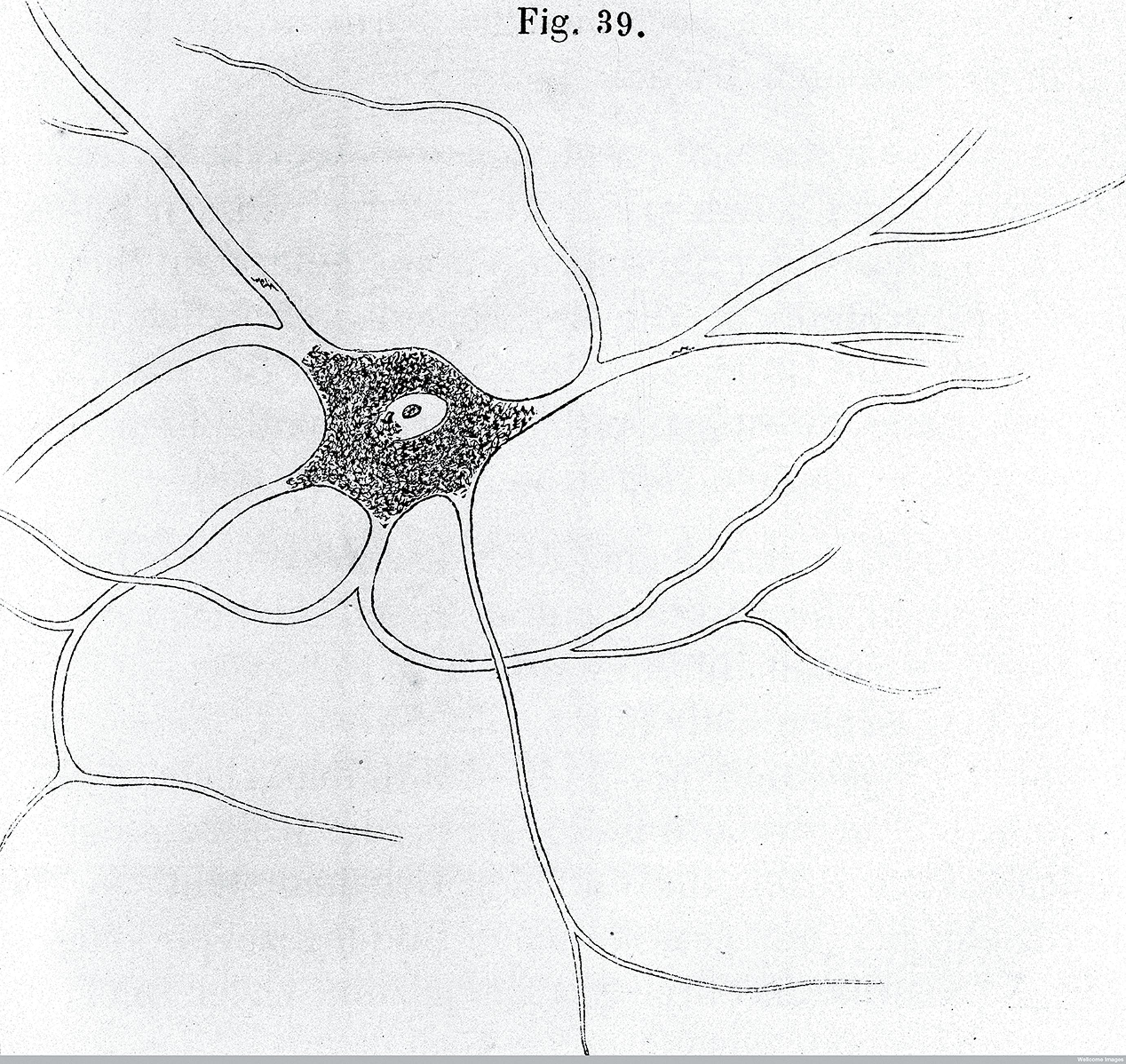 A nerve (A. von Kolliker, 1852).