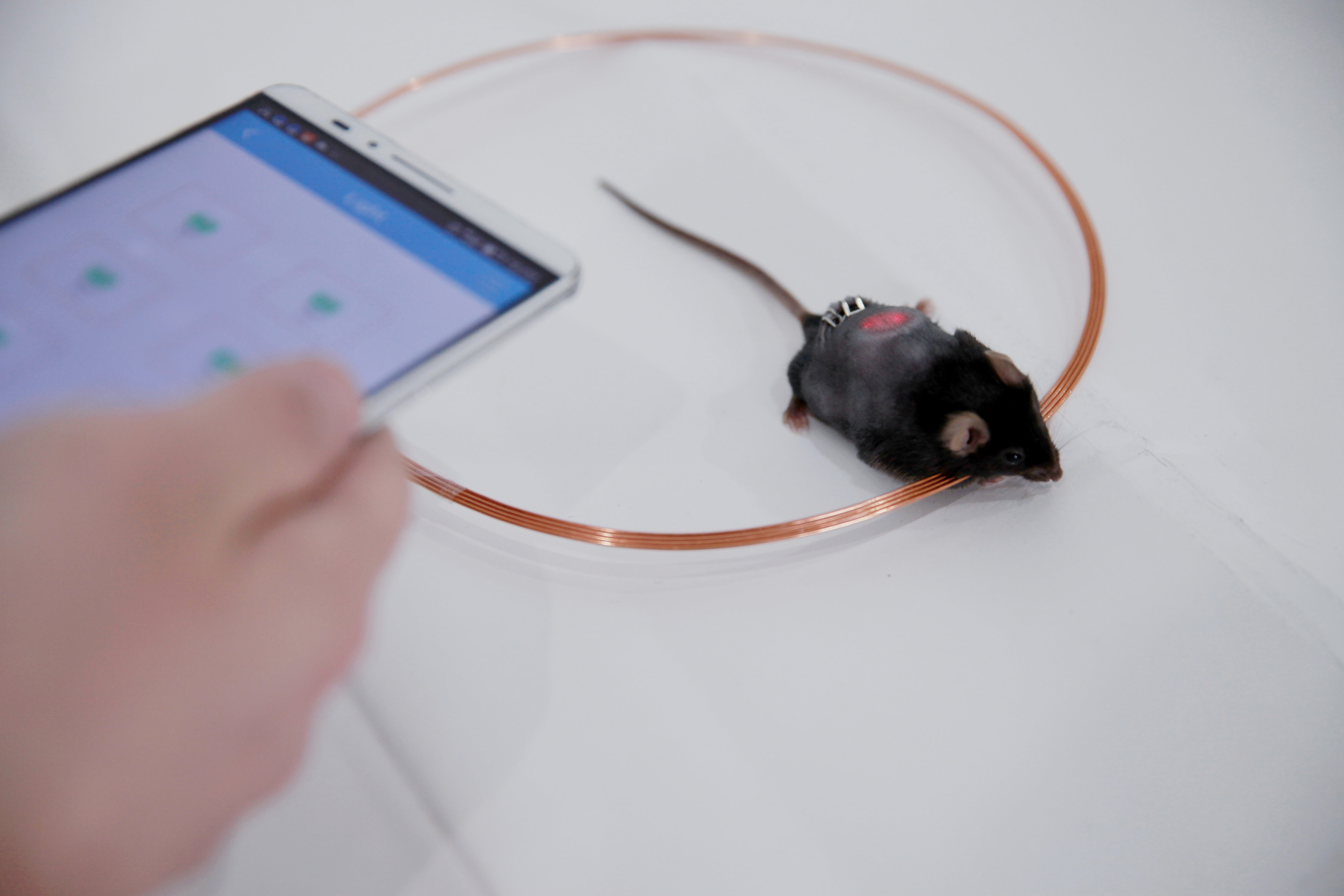 A researcher uses a smartphone to control light levels in mice with implanted LED discs.
