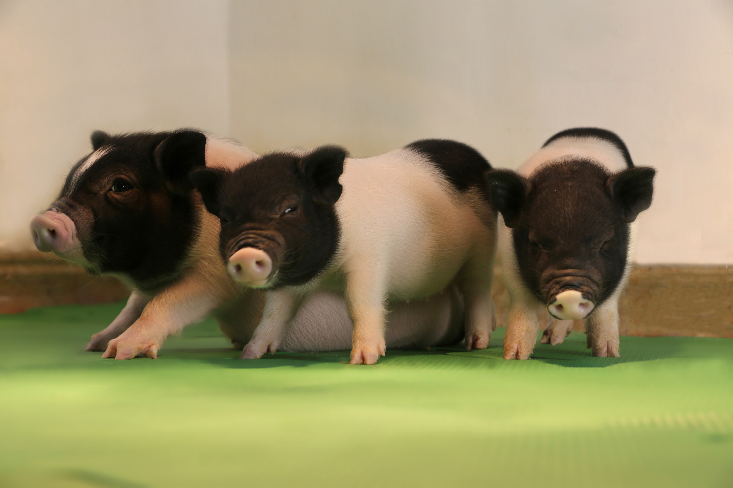 These baby pigs were the first to be born without innate viruses in their DNA.