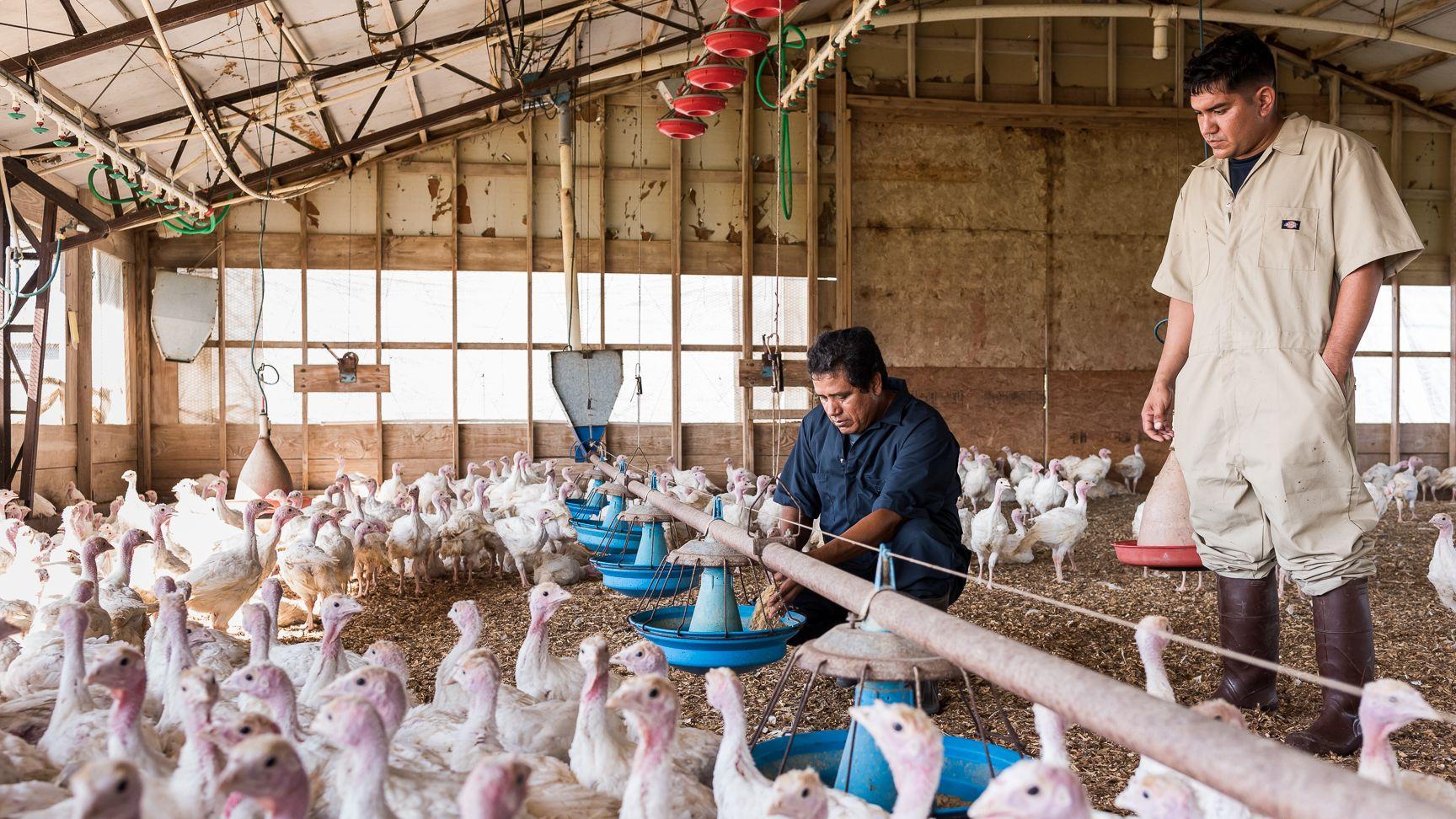 食のトレーサビリティに ブロックチェーンを活用、 七面鳥が実験台に