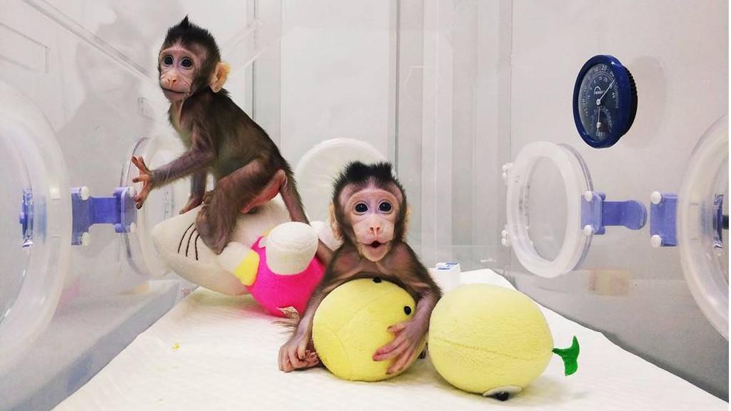 史上初、中国で2匹のクローンサルが誕生