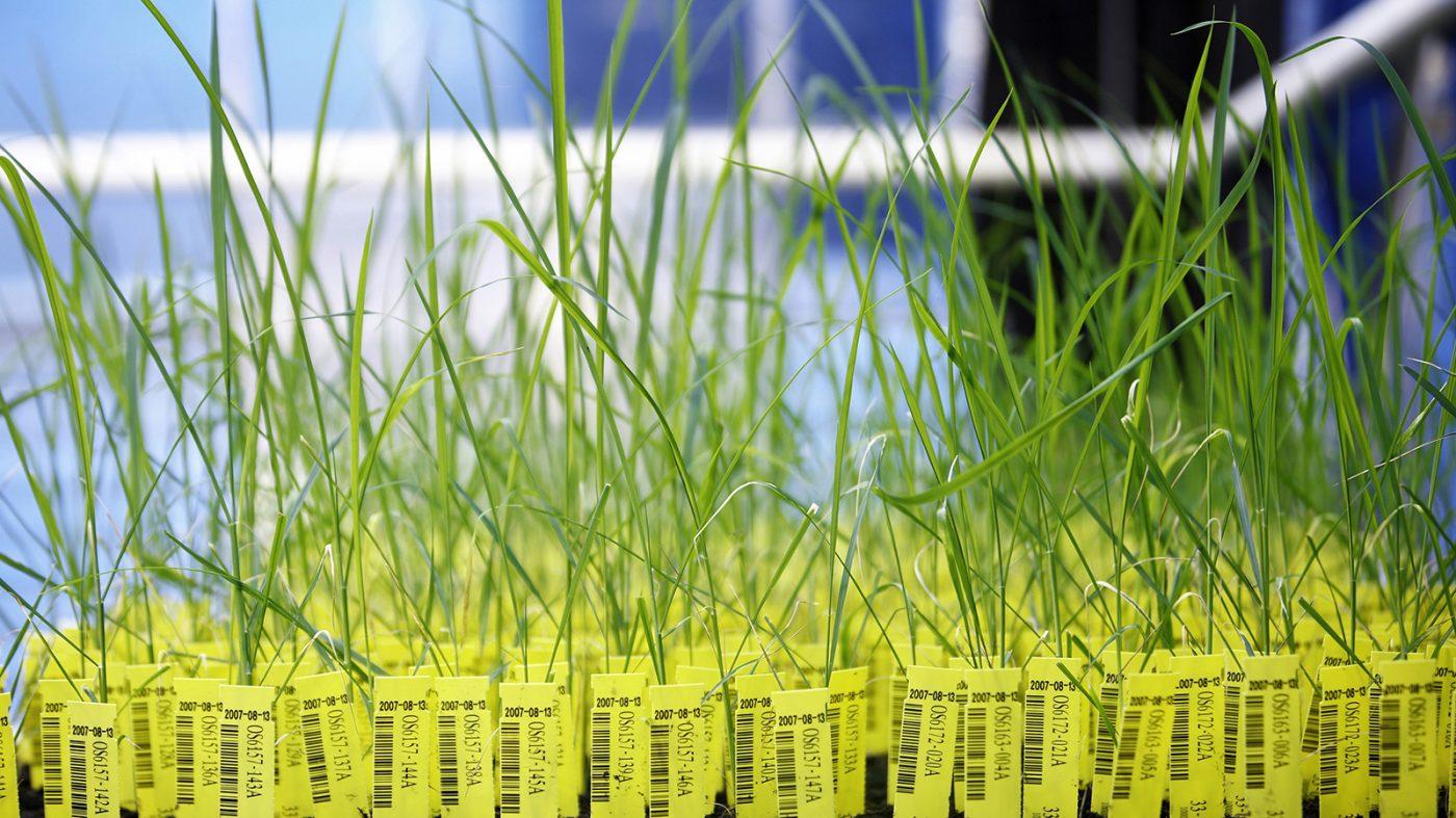 ロシア、遺伝子組み換え作物をめぐってフェイクニュースを拡散か
