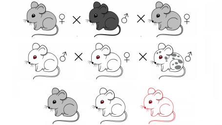 マウスで遺伝子ドライブの有効性を証明、カリフォルニア大