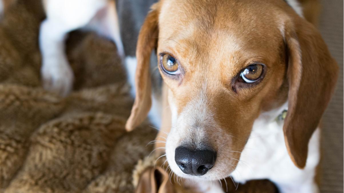 CRISPRによる筋ジストロフィー治療、動物実験で「驚くべき」成果