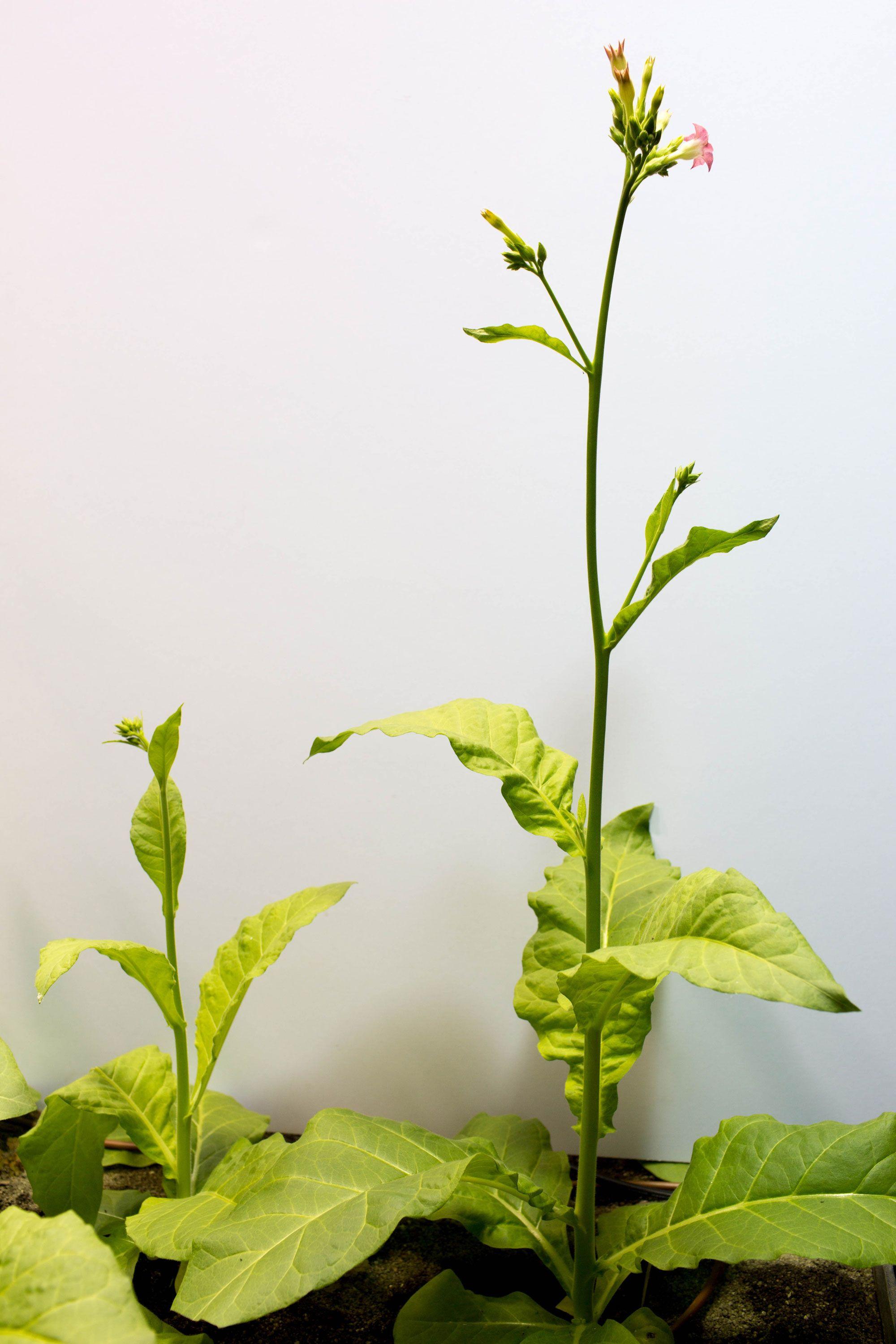 遺伝子工学で作った「光合成強化タバコ」、1.4倍に成長