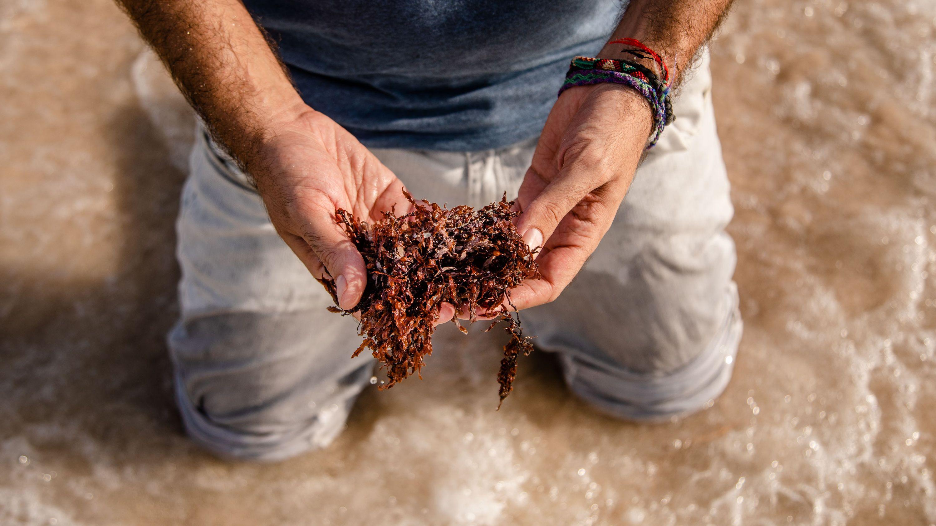 カリブを襲う「海藻」の脅威 人気観光地の危機を救えるか
