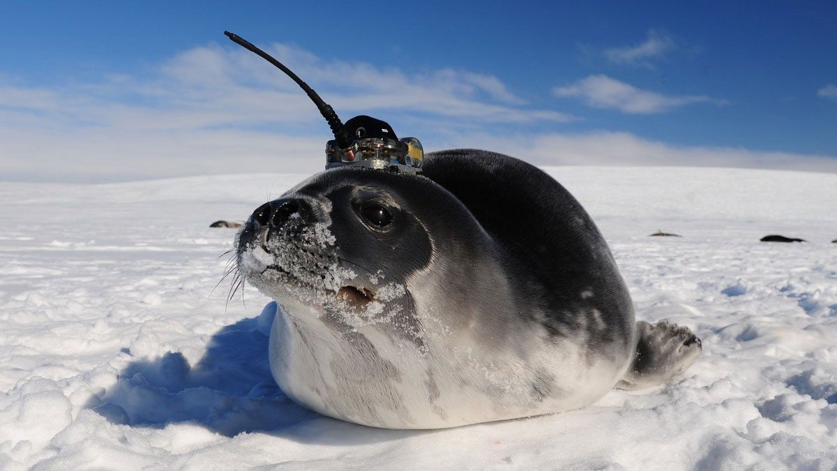 センサー付きアザラシ、南極海の氷の「巨大な穴」の謎を解く