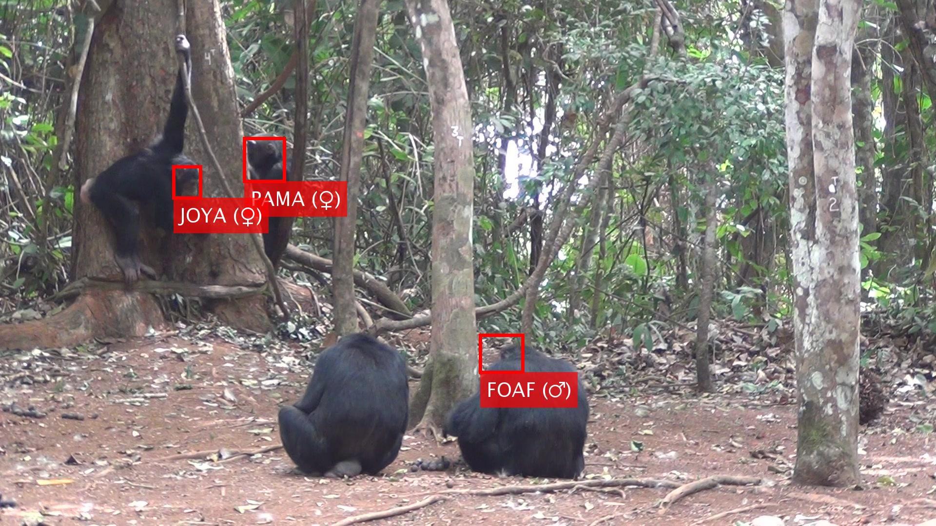 顔認識でチンパンジー追跡、正確な個体識別で動物行動研究を加速