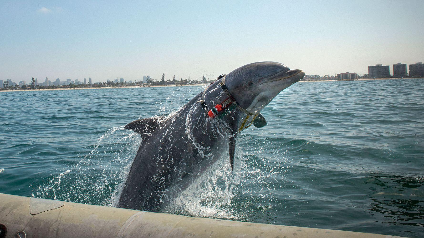 最高性能のソナーをしのぐ、「軍用イルカ」の知られざる歴史