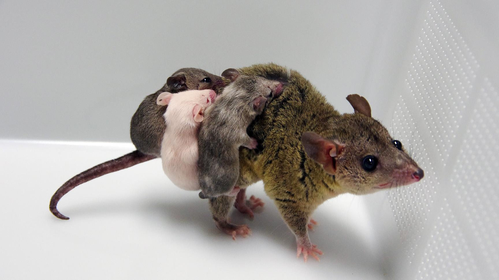 日本の理研チーム、有袋類の遺伝子改変に成功 世界初